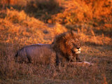 African Lion, Panthera Leo, Tanzania Photographic Print by D. Robert Franz