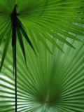Plantes tropicales, Nadi, Viti Levu Reproduction photographique par Walter Bibikow