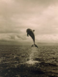 Bottlenose Dolphin Jumping Out of Water Fotografisk trykk av Stuart Westmorland