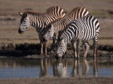 Burchell's Zebra, Equus Burchelli, Tanzania Photographic Print by D. Robert Franz