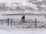Chris Rogers - Longhorn Steer, CO Fotografická reprodukce