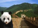 Pandabär und die Große Mauer in China Fotografie-Druck von Bill Bachmann