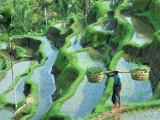 Man in Rice Paddies, Bali, Indonesia Fotografie-Druck von Peter Adams