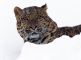 Amur Leopard in Snow, Panthera Pardus Orientalis Photographic Print by D. Robert Franz