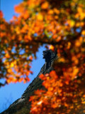 Old Man of the Mt. and Fall Foliage, NH Photographic Print by Kindra Clineff