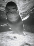 Beluga Whale Swimming in Water Reprodukcja zdjęcia autor Henry Horenstein