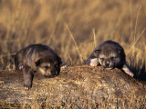 Wolf Pups Less Than 2 Weeks Old, Canis Lupus, CO Photographic Print by D. Robert Franz