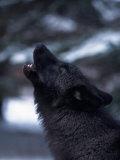 Wolf Howling, Canis Lupus, MN Fotografisk trykk av D. Robert Franz