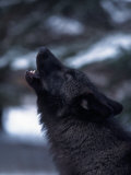 Wolf Howling, Canis Lupus, MN Photographic Print by D. Robert Franz