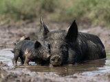 Pig and Piglet in Mud Puddle Papier Photo par Lynn M. Stone