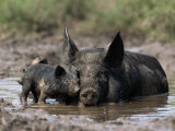 Pig and Piglet in Mud Puddle Fotografisk tryk af Lynn M. Stone