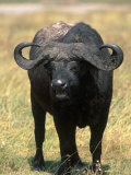 African Buffalo, Syncerus Caffer, Tanzania Photographic Print by D. Robert Franz