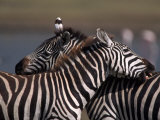 Burchell&#39;s Zebras, Equus Burchelli, Tanzania Photographic Print by D. Robert Franz