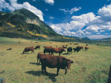 Cattle Grazing on Mt. Crested Butte, Colorado Photographic Print by Tom Stillo