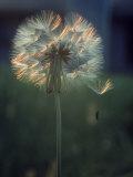 Dandelion Backlit by the Sun Fotografisk tryk af Kevin Leigh