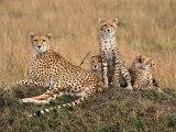 Cheetah & Cubs, Termite Mound, Masai Mara, Keny Fotografisk trykk av Michele Burgess
