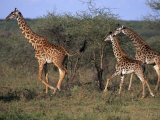 Masai Giraffes, Tarangire National Park, Tanzania Photographic Print by D. Robert Franz