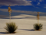 Two Yuccas in Sand Photographic Print by Russell Burden
