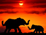 Adult and Young Elephants, Sunset Light Fotografisk tryk af Russell Burden