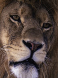 African Lion, Panthera Leo Photographic Print by D. Robert Franz