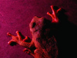 Costa Rican Tree Frog Fotografisk tryk af Dan Gair