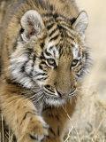 Siberian Tiger Cub, Panthera Tigris Altaica Stampa fotografica di Franz, D. Robert