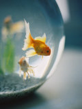 Goldfish in Fish Bowl Photographic Print by Elisa Cicinelli