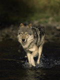 Limber Wolf Running Through River, Canis Lupus Photographie par D. Robert Franz