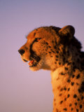Cheetah, South Africa Photographic Print by Stuart Westmorland