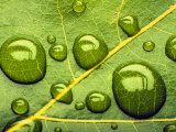 Acid Rainrain Drops on Leaf Fotografisk tryk af David M. Dennis