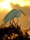 Great Egret, Florida, USA Fotografiskt tryck av Olaf Broders