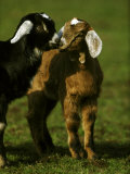 Billy Goat Photographic Print by Mark Hamblin
