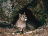 Mountain Lion, Female at Den, USA Fotografisk tryk af Mary Plage