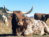 Texas Longhorn, Resting, Colorado, USA Photographic Print by Philippe Henry