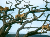 Lionesses in Dead Acacia Tree, Tanzania Fotografisk tryk af Mary Plage