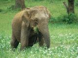 Asian Elephant, Cow Feeding, Sri Lanka Fotografisk tryk af Mary Plage