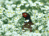 Pheasant, Male in Mayweed, UK Photographic Print by Mark Hamblin
