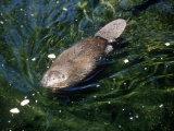 Beaver, USA Fotografisk tryk af Mary Plage
