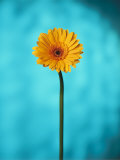 Close-up of a Flowering Daisy Photographic Print by Ernie Friedlander