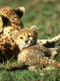 Cheetah, Acinonyx Jubatus Cub Masai Mara Gr, Kenya Photographic Print by Adam Jones