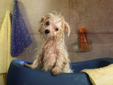 Little Wet Maltese in Bath Tub Photographie par Henryk T. Kaiser
