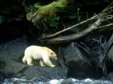 Spirit Bear, Beside River, Canada Photographic Print by Daniel J. Cox