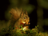 Red Squirrel, Scotland Photographic Print by Mark Hamblin
