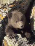 Grizzly Bear Cub Between Rocks, Montana, USA Photographic Print
