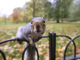 Grey Squirrel, St. James Park, London Photographic Print by David Tipling