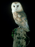 Barn Owl Fotoprint van Mark Hamblin