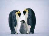 Emperor Penguins, Family, Antarctica Photographic Print by David Tipling