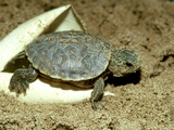 Red-Eared Slider Turtle, Hatching, USA Fotografie-Druck von G. W. Willis
