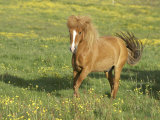 Icelandic Horse Running Across Meadow, Iceland Photographic Print by Mark Hamblin