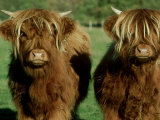 Highland Cattle, 9 Month Old Calves, Scotland Fotografisk tryk af Alastair Shay